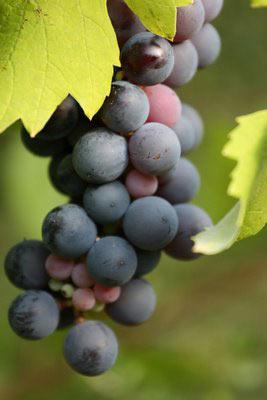 Resveratrol Beneficions uva negra